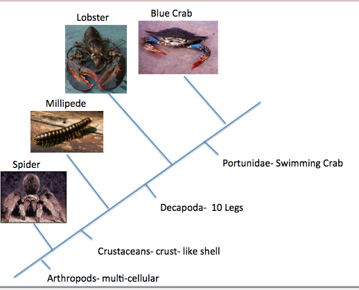 recipe: what did crabs evolve from [33]